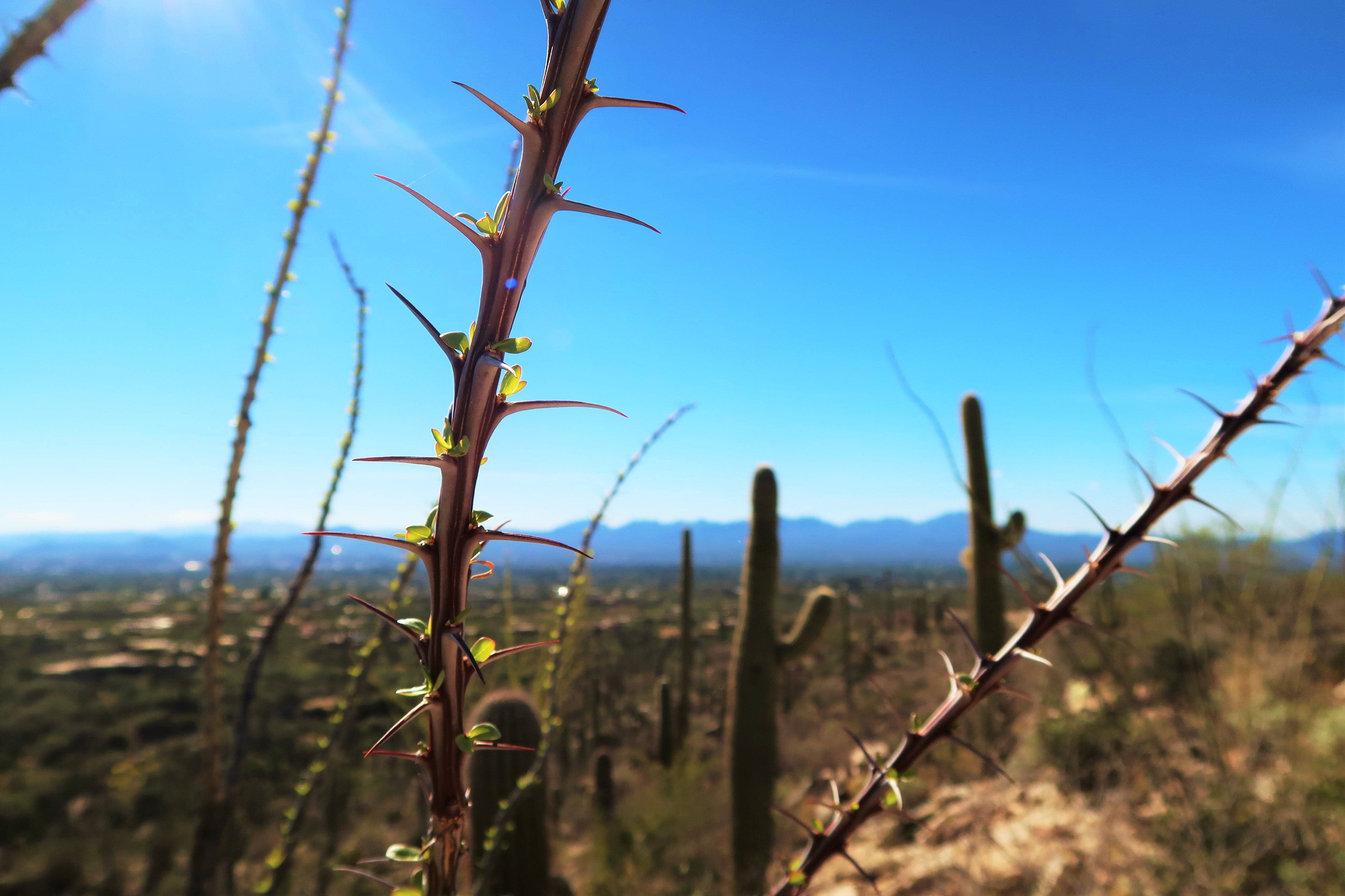 cacti on pima canyon trail head